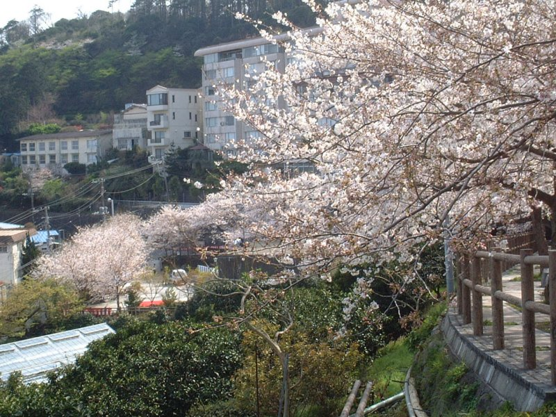 Please enjoy Yoshino cherry tree(桜) in full bloom